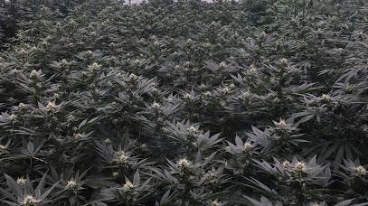 Cultiva Law, PLLC – Cannabis Law Firm